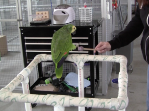 Teaching Suki to touch the end of a stick with her foot. This is part of a behavior modification plan in helping a client teach her parrot not to bite.