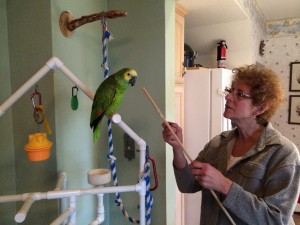 Colleen, a client, teaching her amazon to touch its beak to a stick. This is a great way to get a bird to move from point A to point B with no contact, if desired.