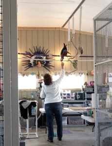 Our cages are tall and our play stations tower over our heads. We train our birds to fly down or want to come down to us by making sure there is always something of value to them to come down, even if it is just our attention.