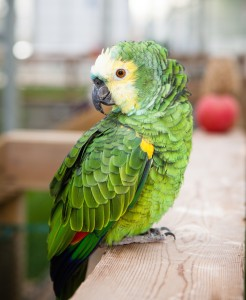 Suki our blue-fronted amazon known to dive-bomb the heads of visitors.