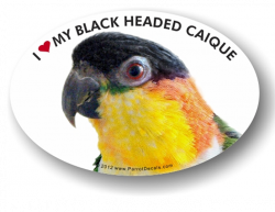 Black Headed Caique Decal