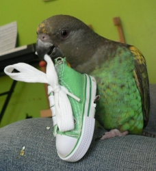 Zazu loves his new shoes!